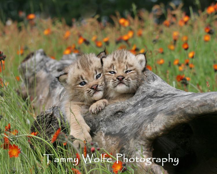 Canada Lynx kittens in northern Minnesota*