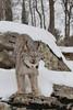 Canada Lynx (Lynx canadensis)