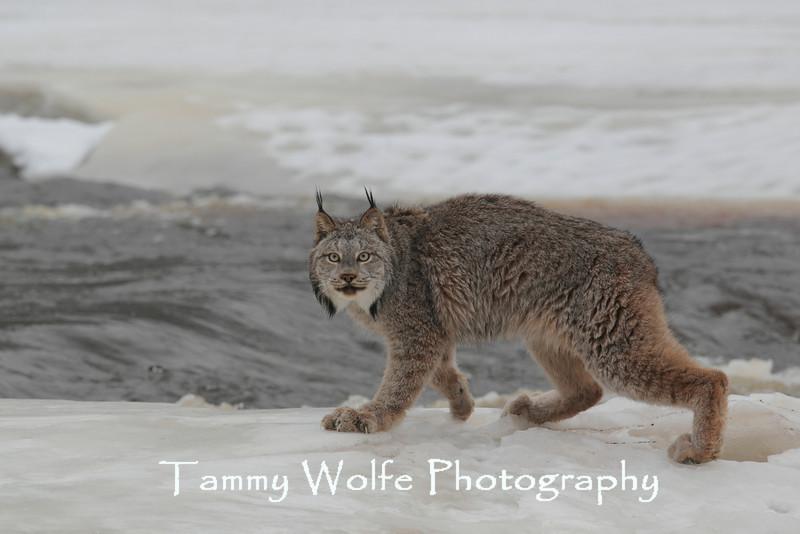 Canada Lynx (Lynx canadensis)*