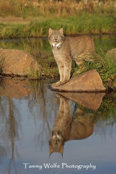 Canada Lynx in northern Minnesota* (Photo #7752)