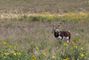 Blackbuck Antelope (Antilope cervicapra)*