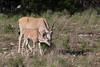Eland antelope (Tragelaphus oryx)