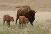 American Bison (Bison bison), Cow with Calves, Custer State Park