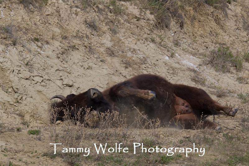 American Bison (Bison bison) taking a dust bath, Theodore Roosevelt National Park
