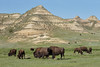 Bison herd at Theodore Roosevelt National Park
