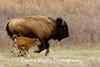 American Bison, Thedore Roosevelt National Park