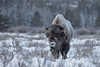 American Bison (Bison bison), Grand Teton National Park