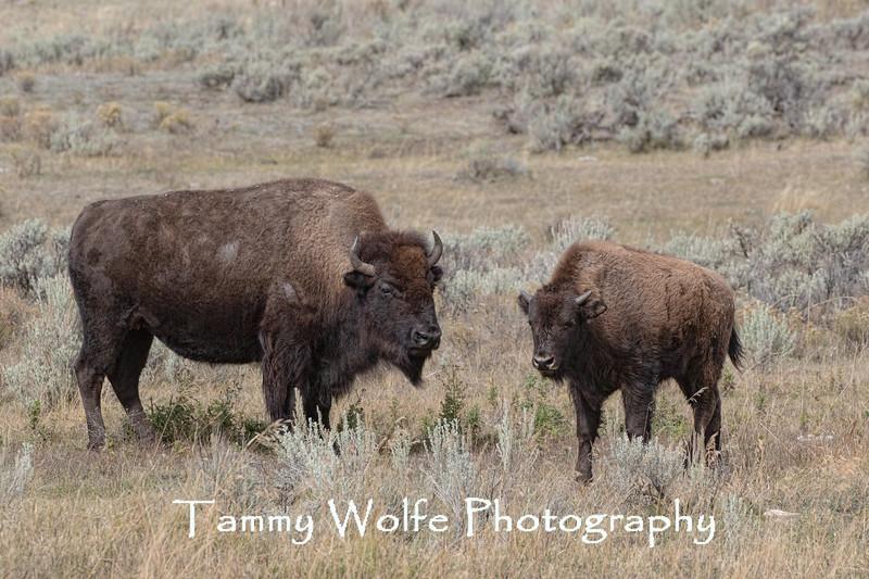 American Bison (Bison bison), Yellowstone