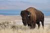 American Bison Bull (Bison bison)