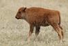 American Bison (Bison bison) Calf, Custer State Park