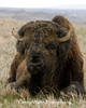 American Bison Bull, Thedore Roosevelt National Park