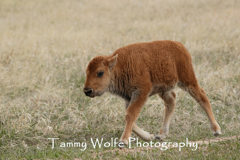 American Bison (Bison bison), Custer State Park; Calf with dried umbilical cord