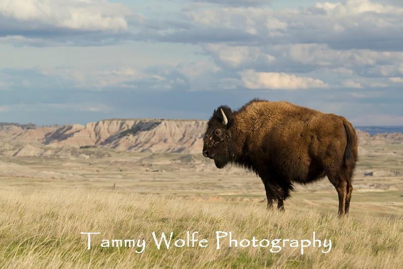 American Bison (Bison bison), Badlands National Park
