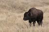 American Bison (Bison bison), Custer State Park