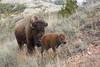 American Bison (Bison bison), Theodore Roosevelt National Park