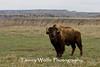 American Bisonl, Thedore Roosevelt National Park