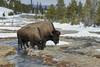 American Bison (Bison bison), Yellowstone National Park