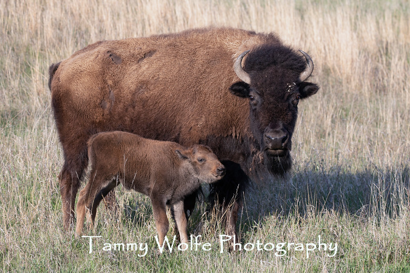 American Bison (Bison bison) cow and calf, Theodore Roosevelt National Park