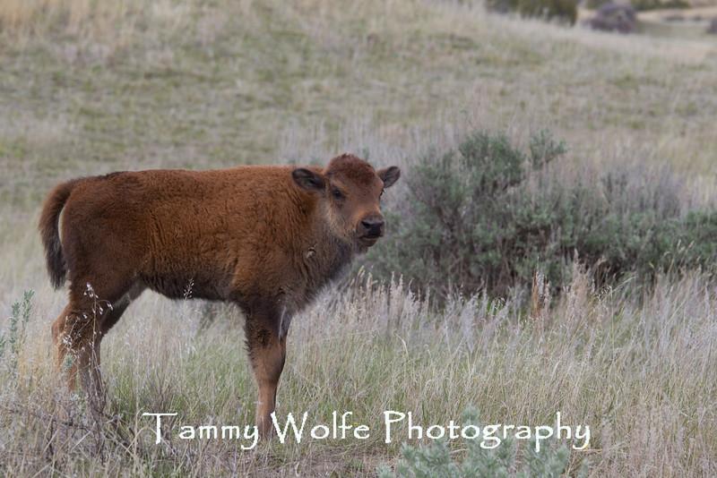American Bison (Bison bison) Calf, Theodore Roosevelt National Park