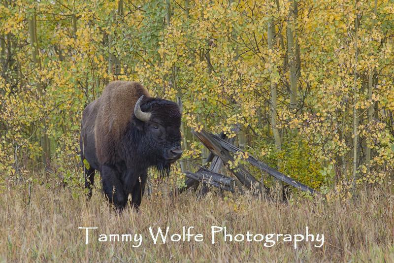 American Bison (Bison bison), Grand Teton National Park