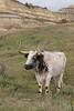 Longhorn Steer (Bos taurus), Theodore Roosevelt National Park