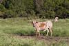 Longhorn (Bos taurus), Texas
