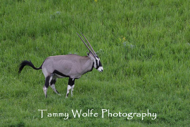 Gemsbok (Oryx gazella), Minnesota Zoo