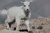 Mountain Goat (Oreamnos americanus), Mount Evans, Colorado
