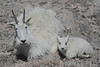 Mountain Goat (Oreamnos americanus), Nanny with Kid,  Mount Evans, Colorado