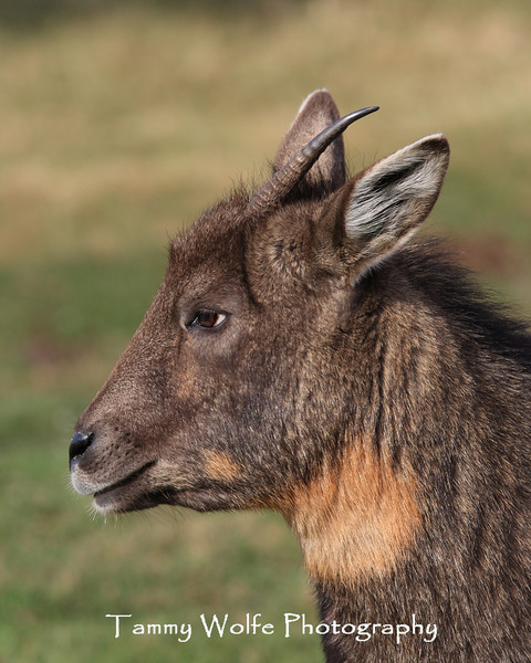 Central Chinese Goral, Lake Superior Zoo