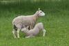 Domestic Sheep (Ovis aries), Ewe with nursing lamb