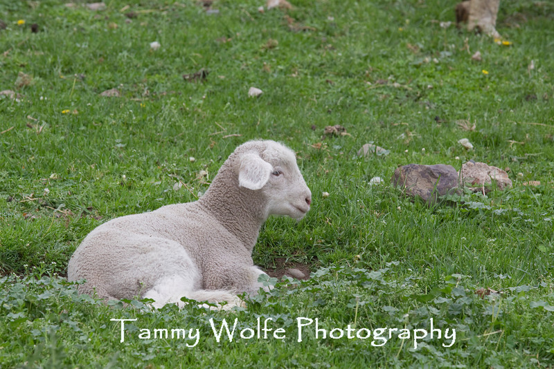 Domestic Sheep (Ovis aries), Resting Lamb