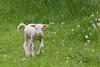 Lamb (Ovis aries)
