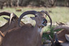 Barbary Sheep (Ammotragus lervia)*