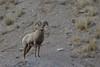 Bighorn sheep (Ovis canadensis), National Elk Refuge, Jackson, Wyoming