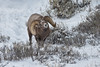 Bighorn sheep (Ovis canadensis), National Elk Refuge, Jackson, Wyoming