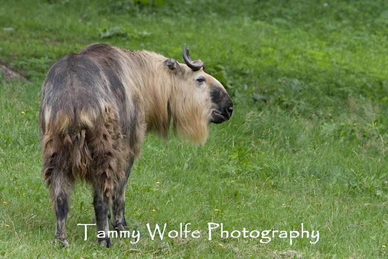 Takin (Budorcas taxicolor), Minnesota Zoo