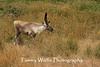 Woodland Caribou, Minnesota Zoo