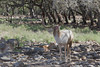 Fallow Deer (Dama dama)*
