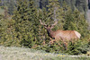 Bull Elk (Cervus canadensis), Rocky Mountain National Park