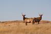 Elk (Cervus canadensis), Theodore Roosevelt National Park