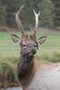 Young Bull Elk (Cervus canadensis), Colorado