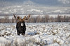 Shiras Moose (Alces alces)