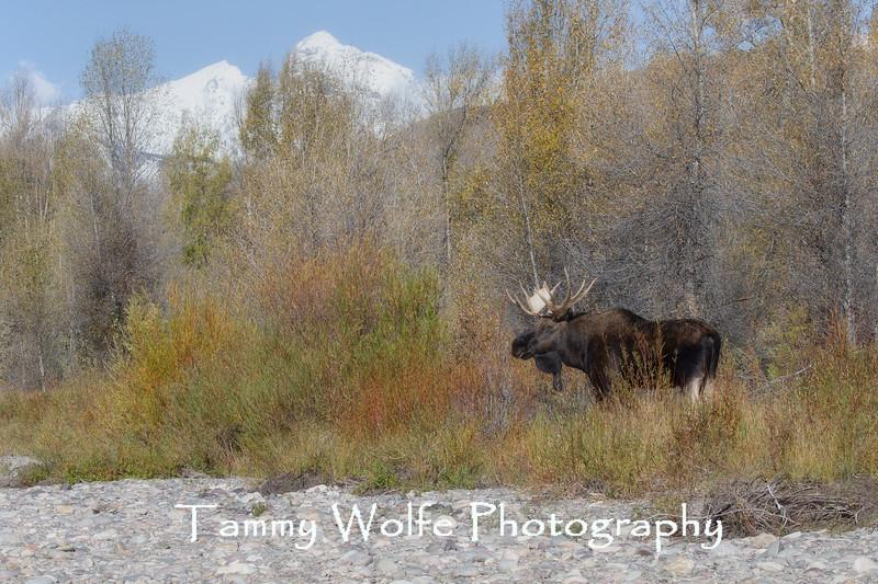 Shiras Moose (Alces alces)