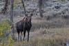 Shiras Moose calf (Alces alces)