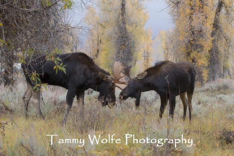 Shiras Moose (Alces alces) Sparring