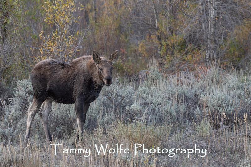 Shiras Moose (Alces alces) Calf