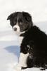 Border Collie Puppy, About 9 weeks