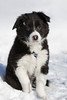 Border Collie Puppy, About 9 weeks