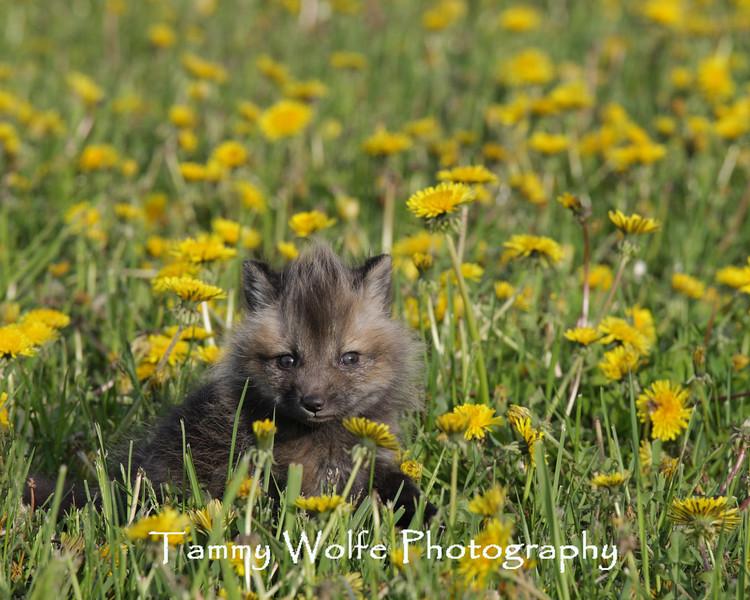 Cross Fox Kit in a Field of Dandelions*